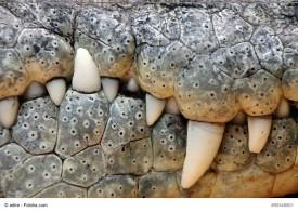 Lacoste Krokodil